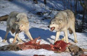 Wolves_Kill